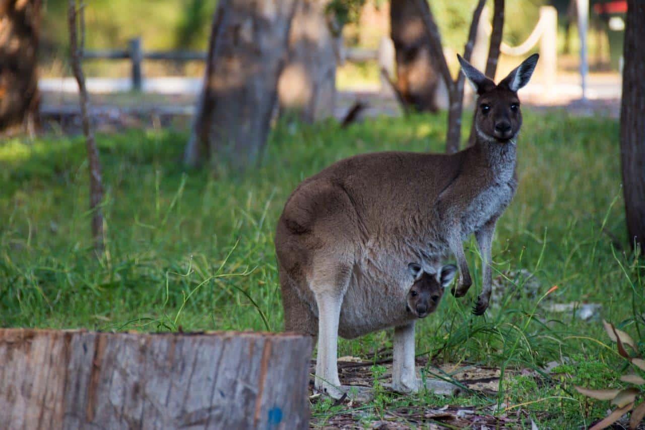 Yanchep Kangaroos