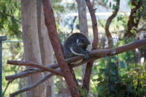 Koala at Yanchep National Park