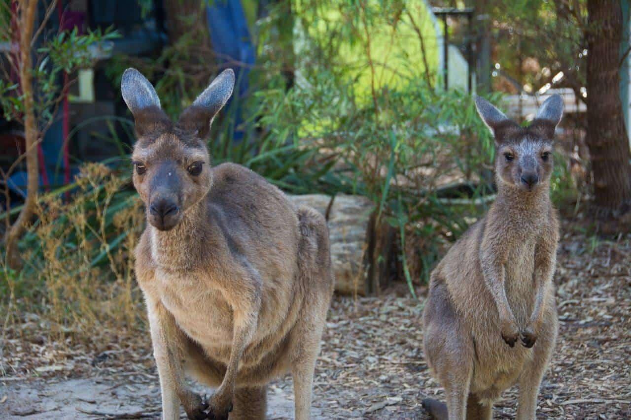 Local Kangaroos in Walpole