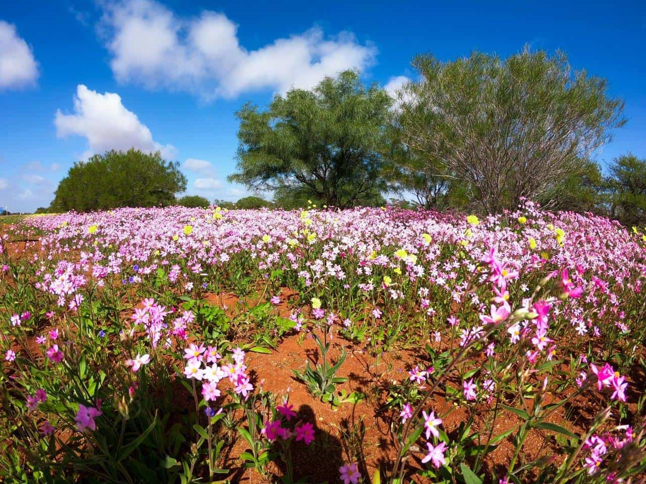 Wildflowers near Wooramel