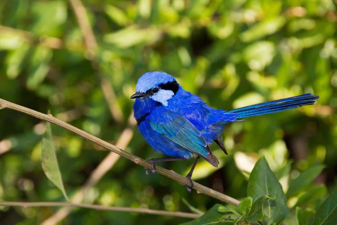 Margaret River Blue Wren