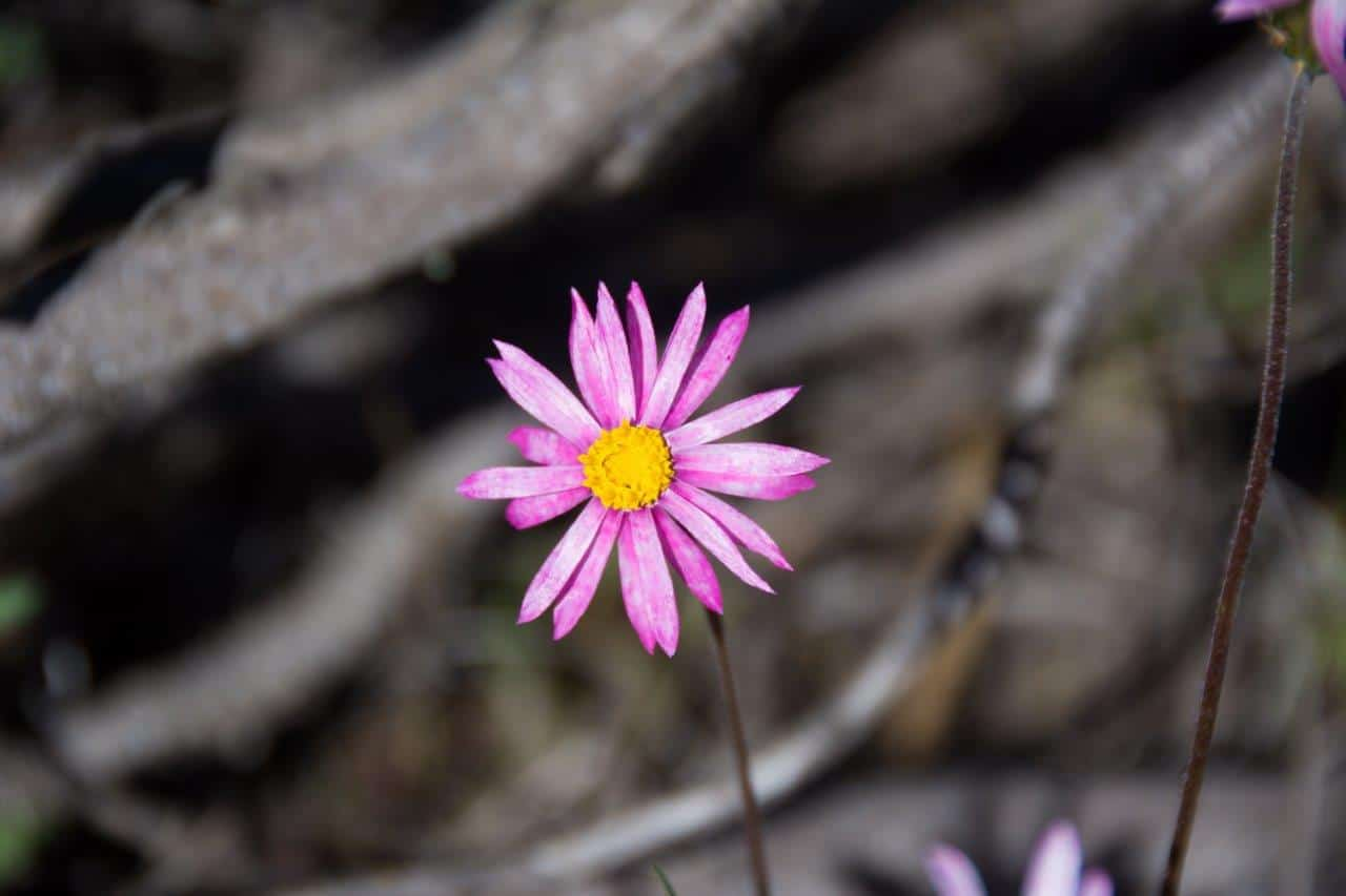 Coalseam flowers
