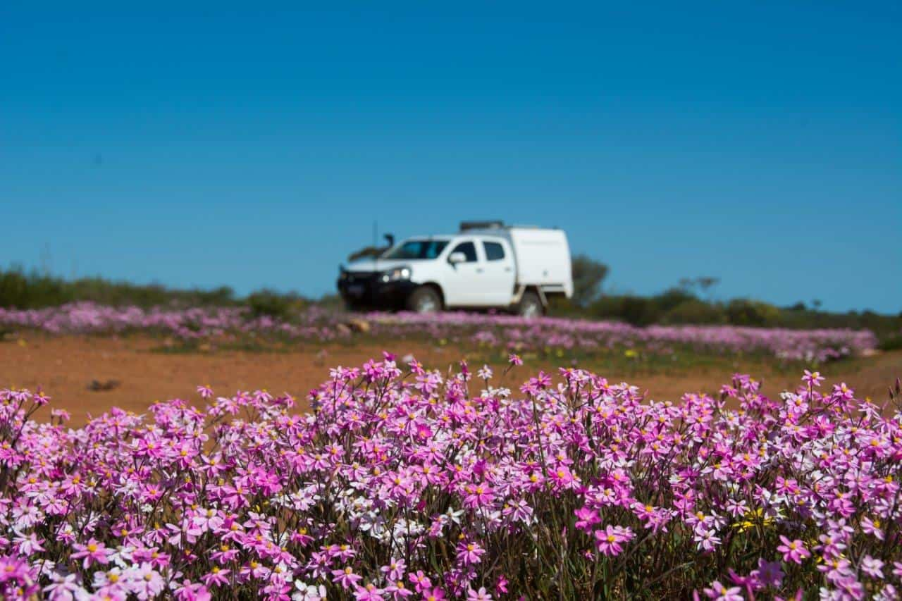 Pink Wildflowers near Perth
