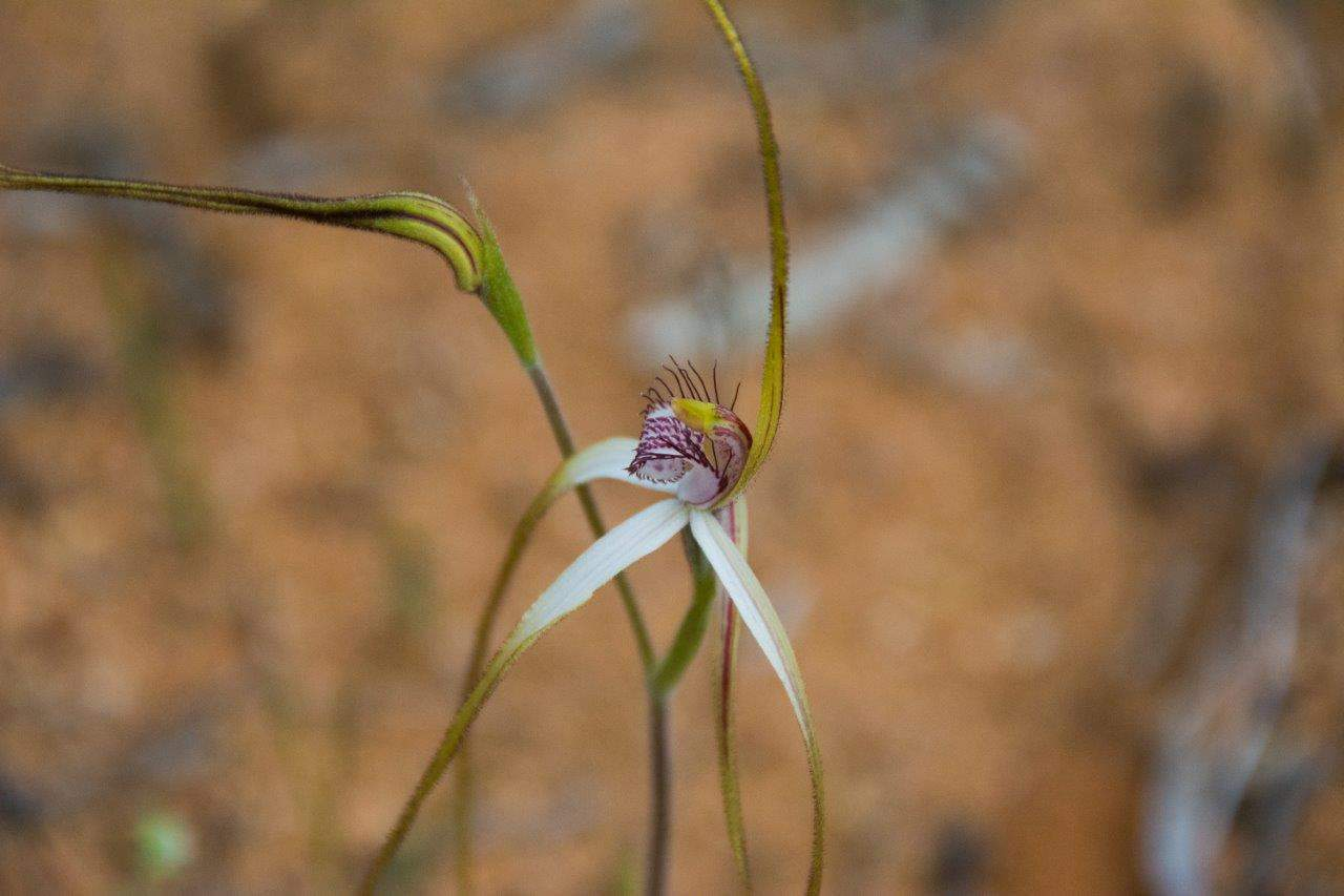 Tiny white spider orchid