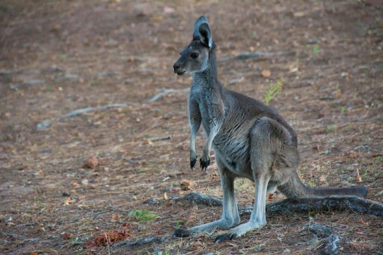 Kangaroos at Dwellingup