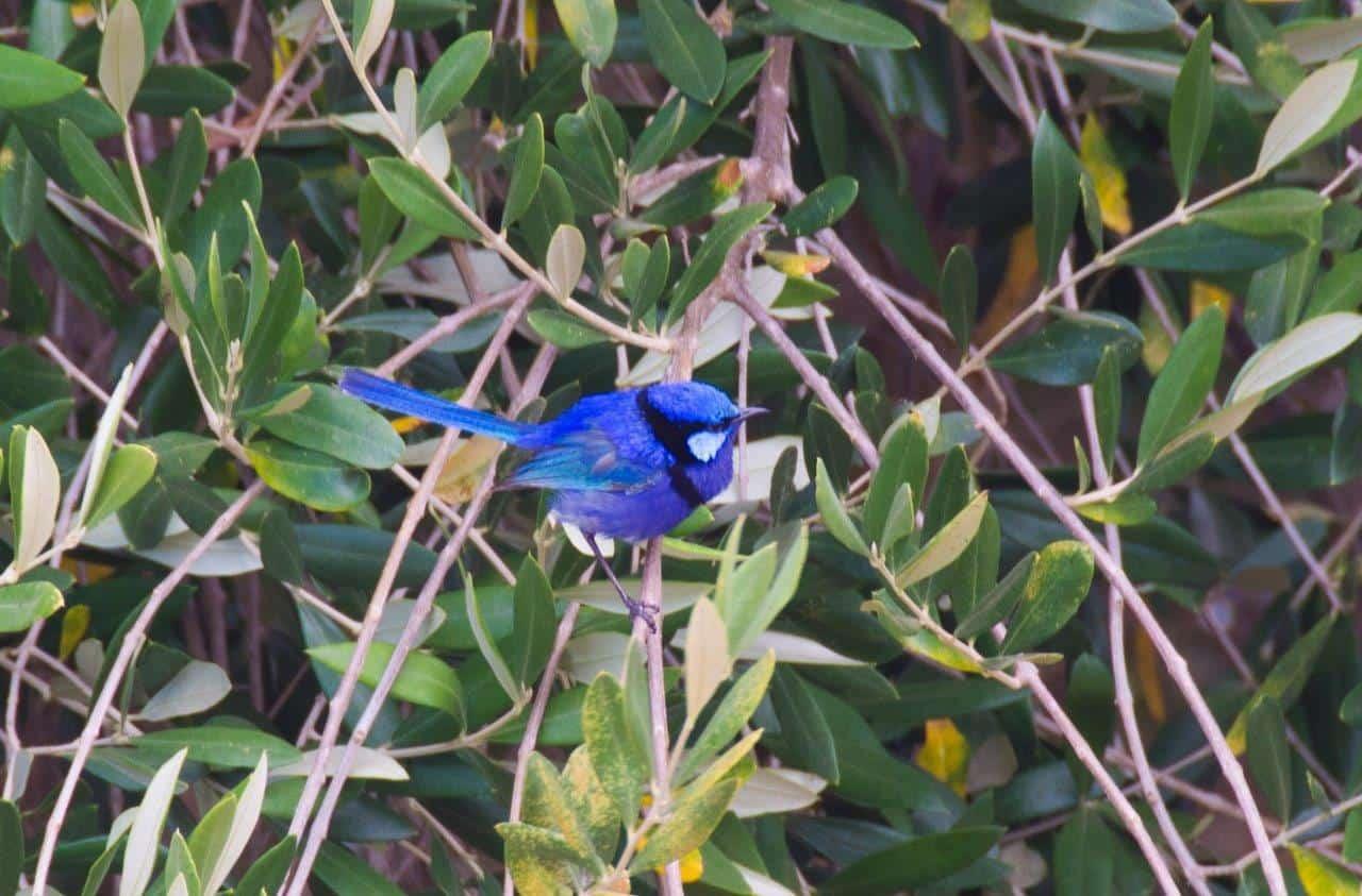 Blue Wren at Olive Hill