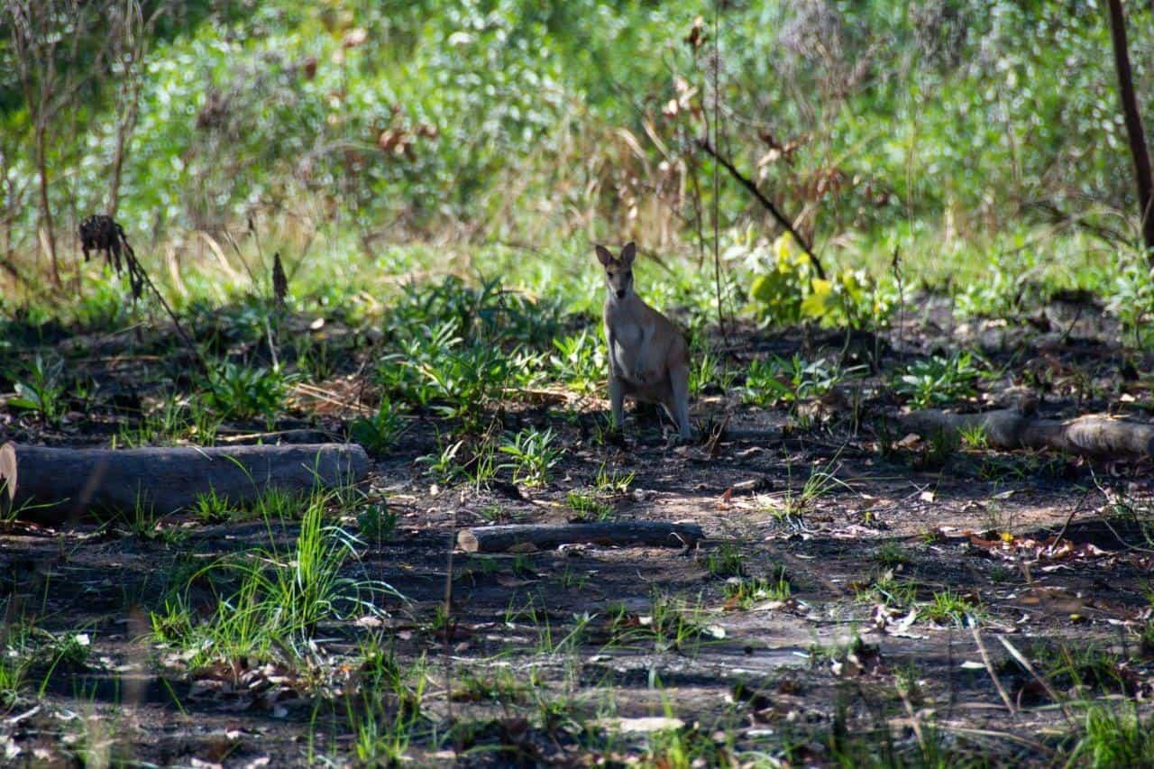 Wallaby near Wyndham