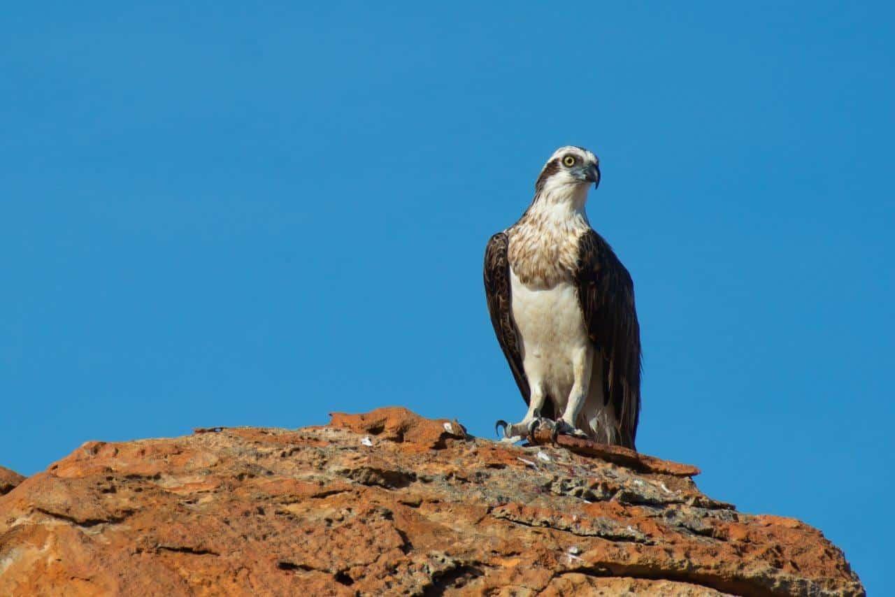 Osprey at Barn Hill
