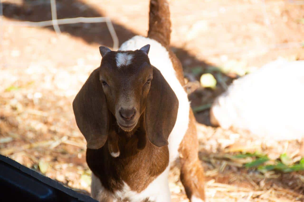 Pet goats at Barn Hill