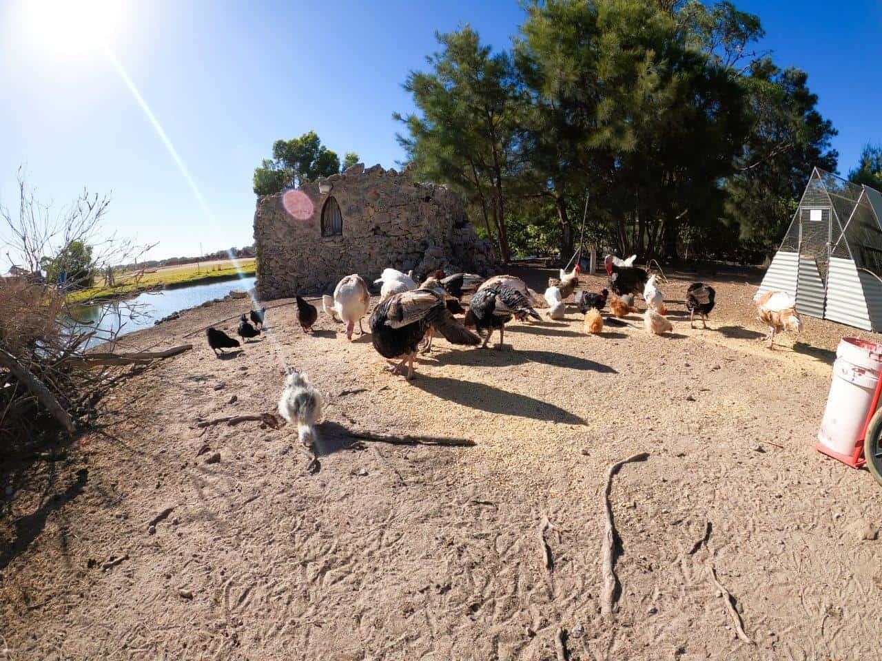 Ducks and Chooks on the island