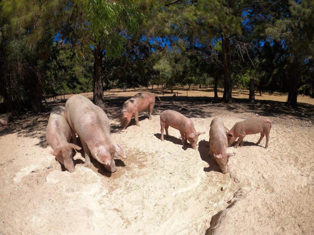 Enjoying the pigs