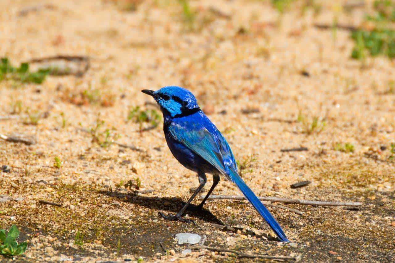 Blue Wren in Collie